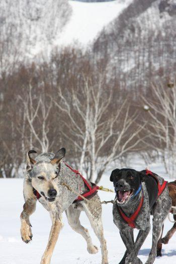 ウインターアドベンチャーのお知らせ  ナイトスノーシュー&犬ぞり